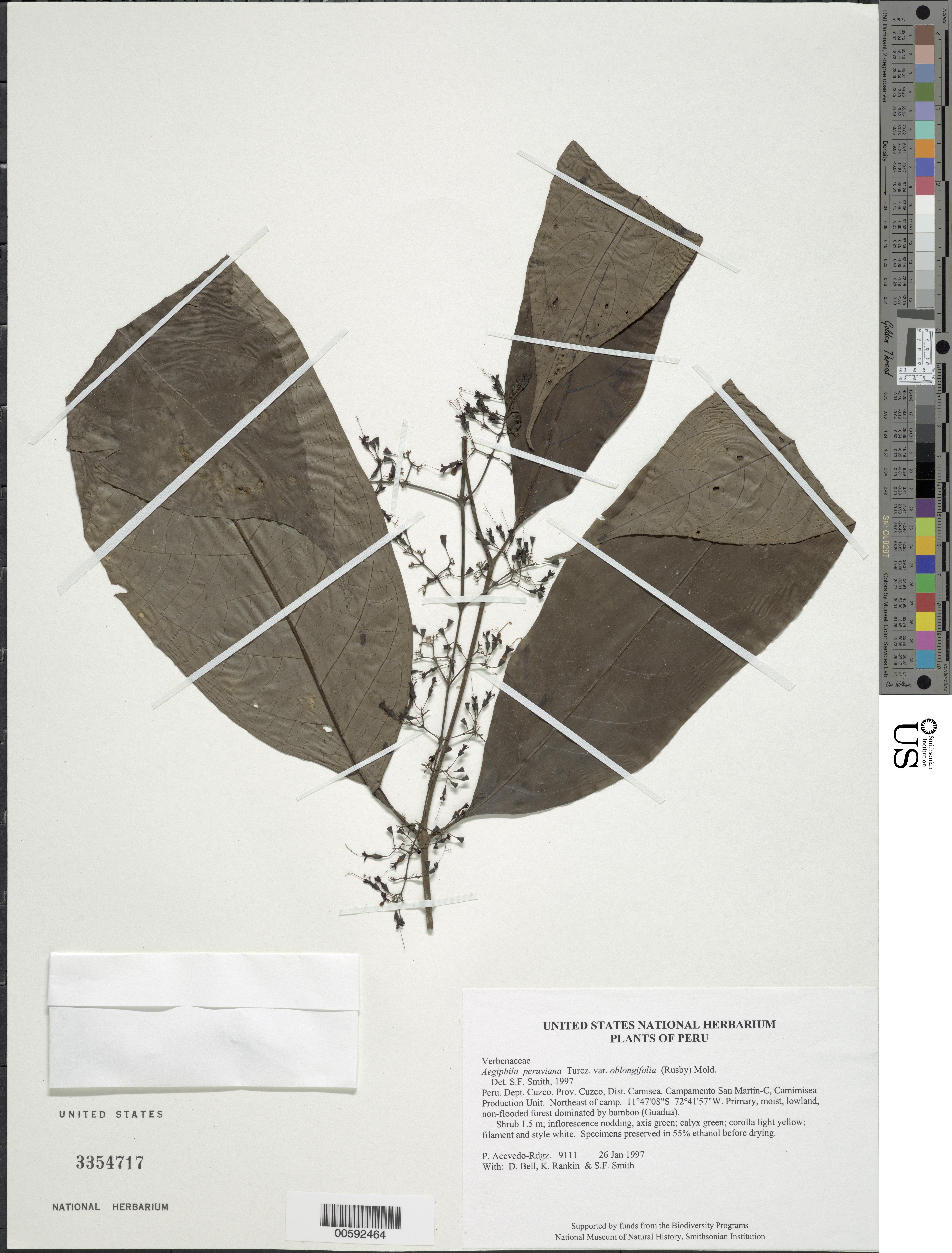Image of <i>Aegiphila panamensis</i> Moldenke