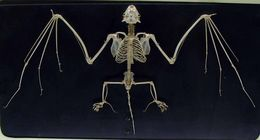 Image of <i>Molossus rufus</i> ssp. <i>nigricans</i>