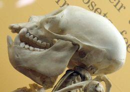 Image of <i>Cacajao calvus rubicundus</i> (I. Geoffroy Saint-Hilaire & Deville 1848)