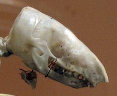 Image of Notoryctes typhlops