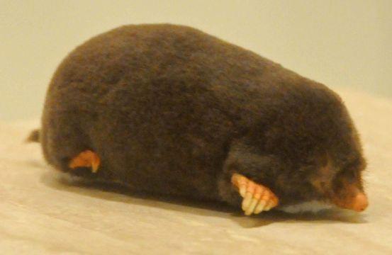 Image of Common Mole