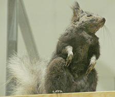 Image of Kaibab squirrel