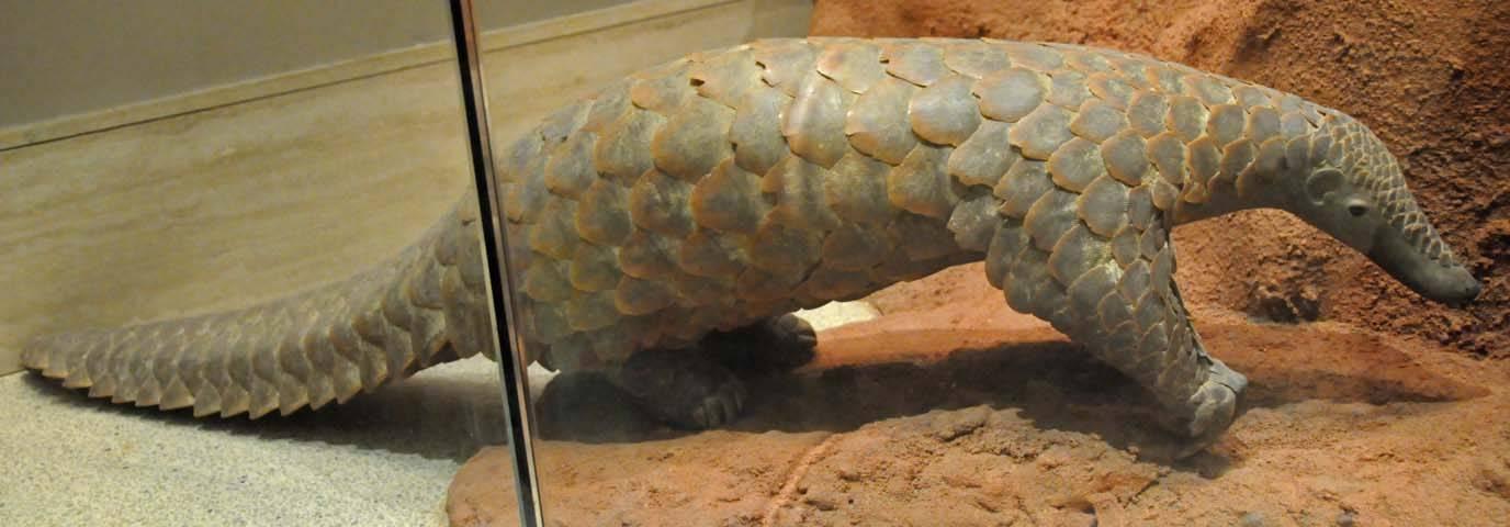 Image of Giant Ground Pangolin