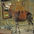 Image of Okapi