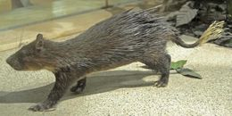 Image of African Brush-tailed Porcupine