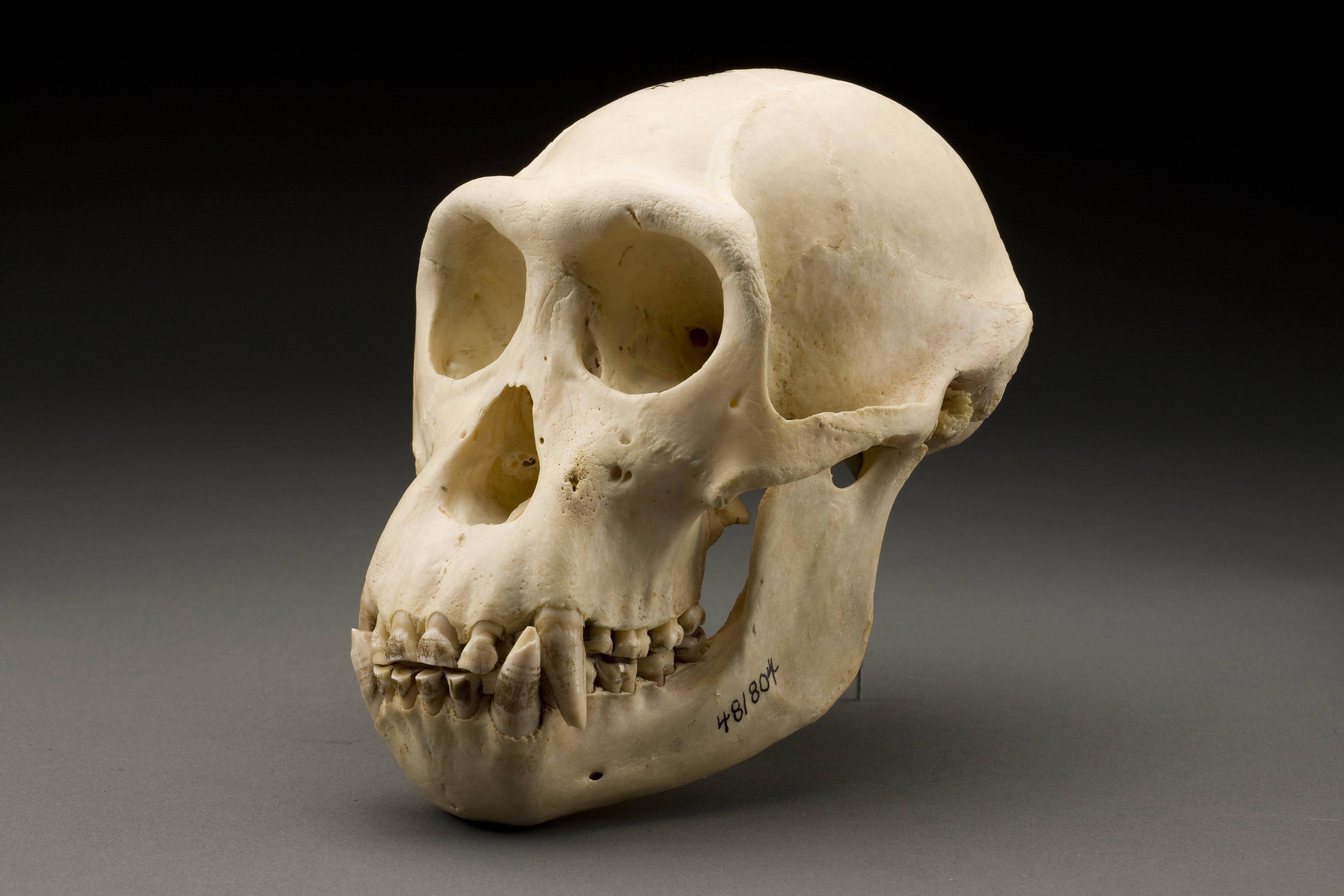Image of <i>Pan troglodytes verus</i> Schwarz 1934