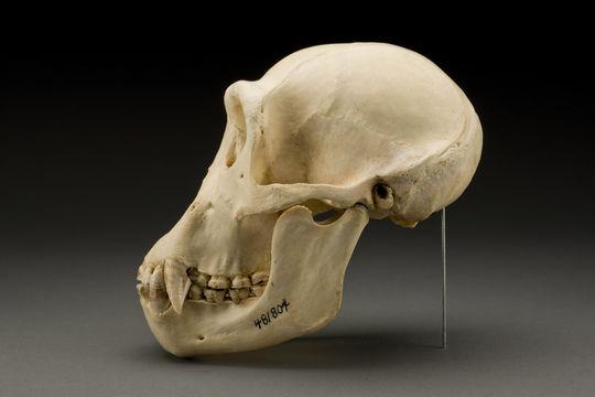 Image of western chimpanzee