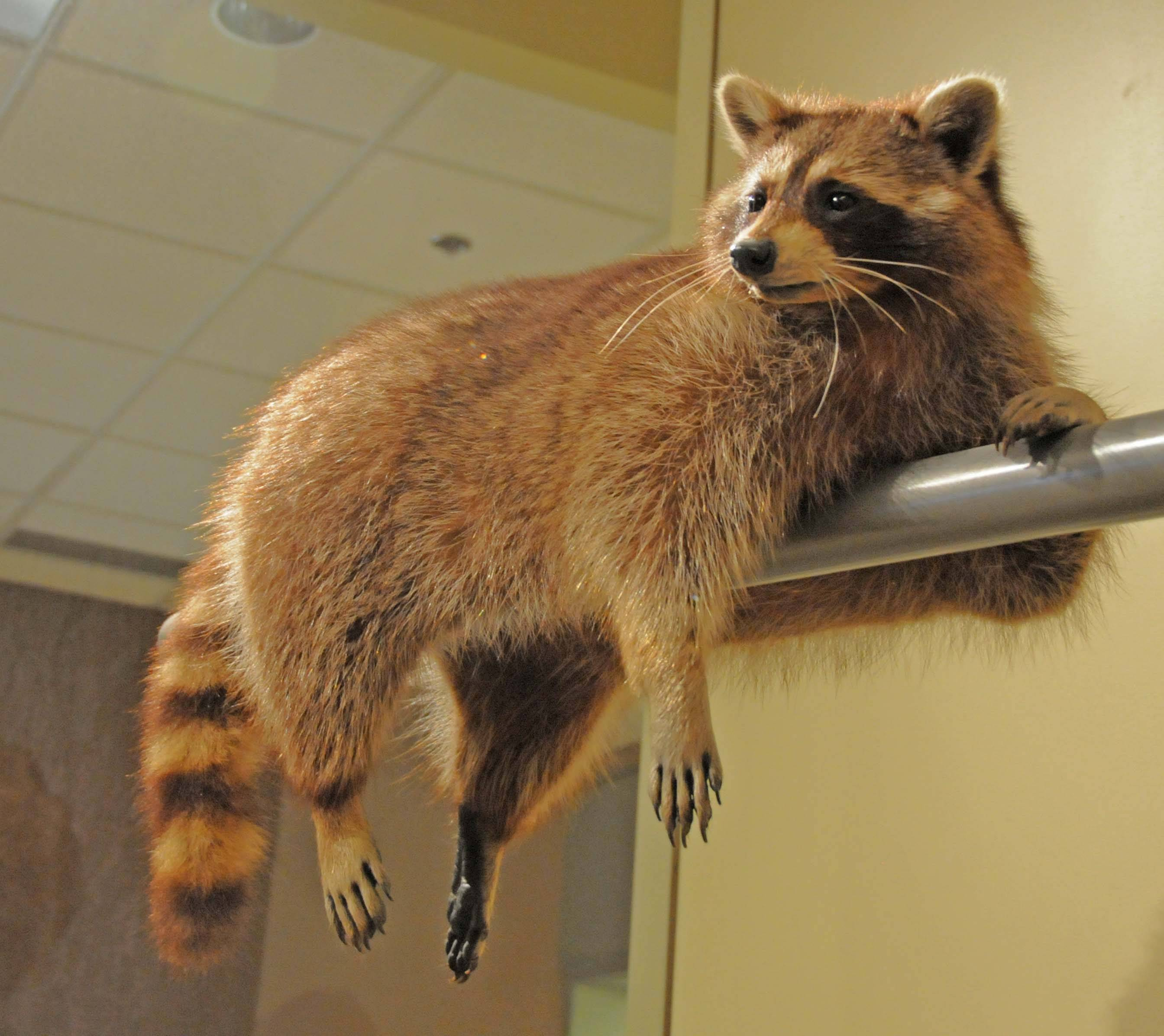 Image of Common Raccoon