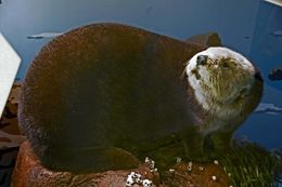 Image of southern sea otter
