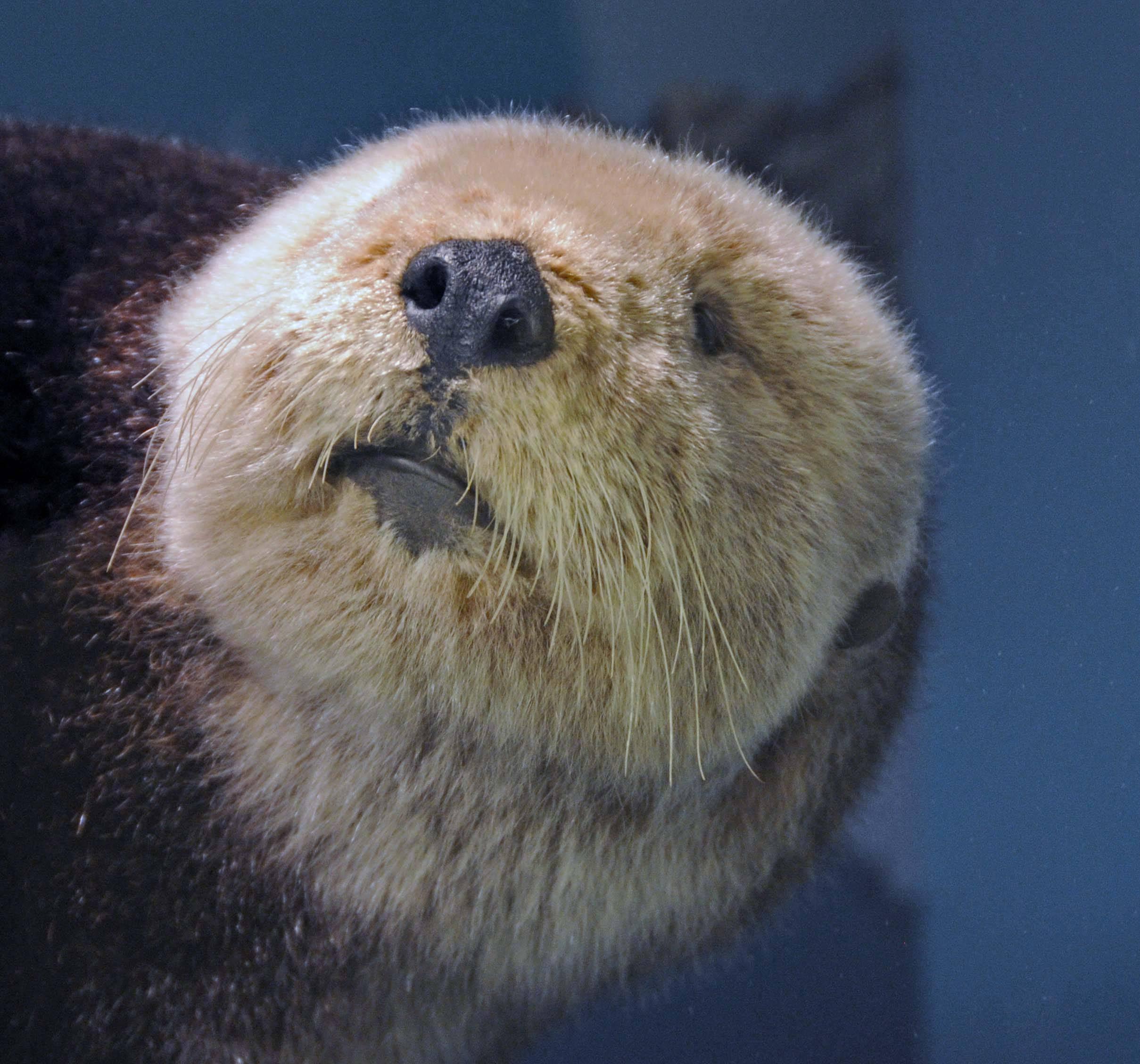Image of California Sea Otter