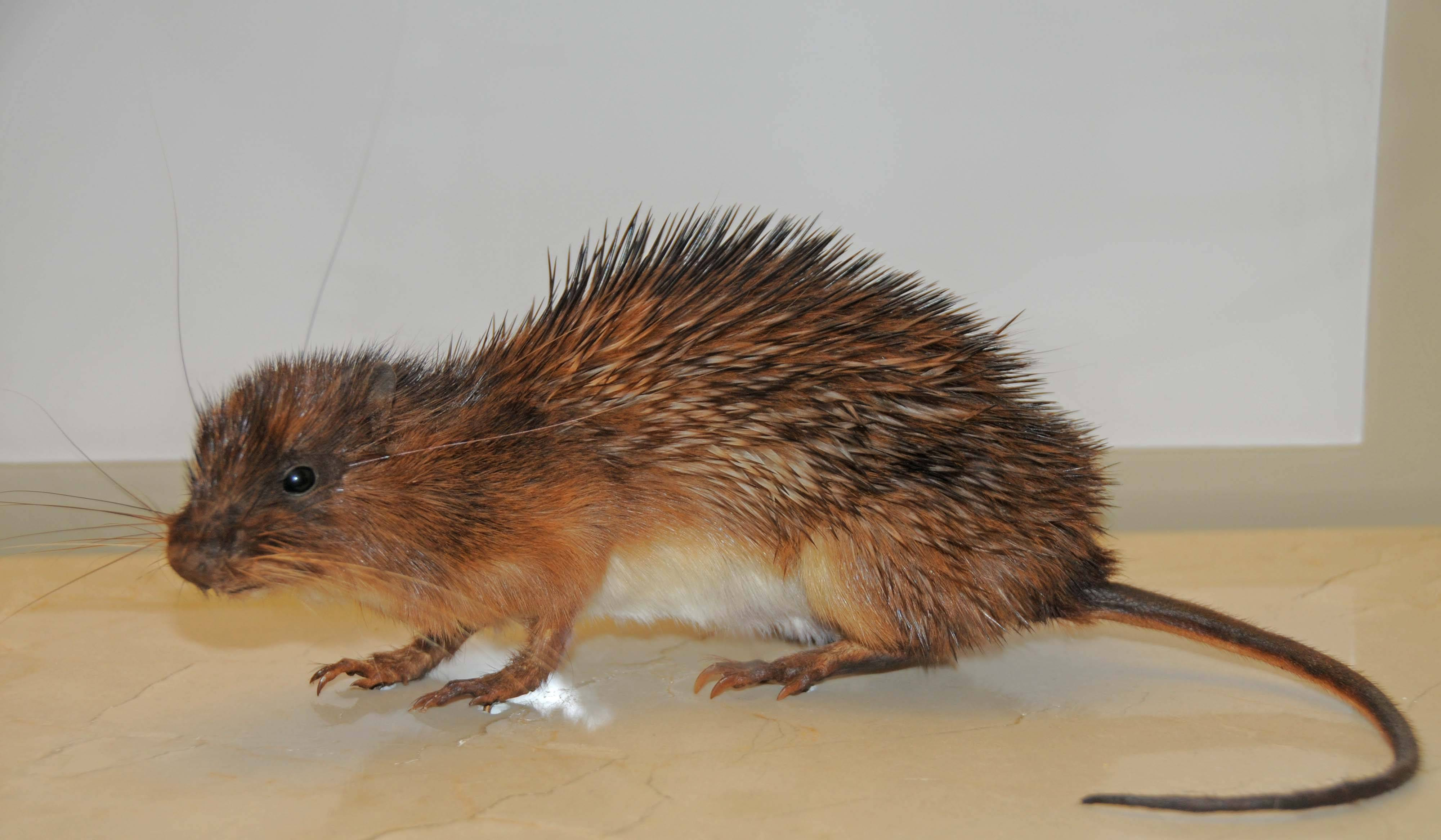 Image of Armored Rat