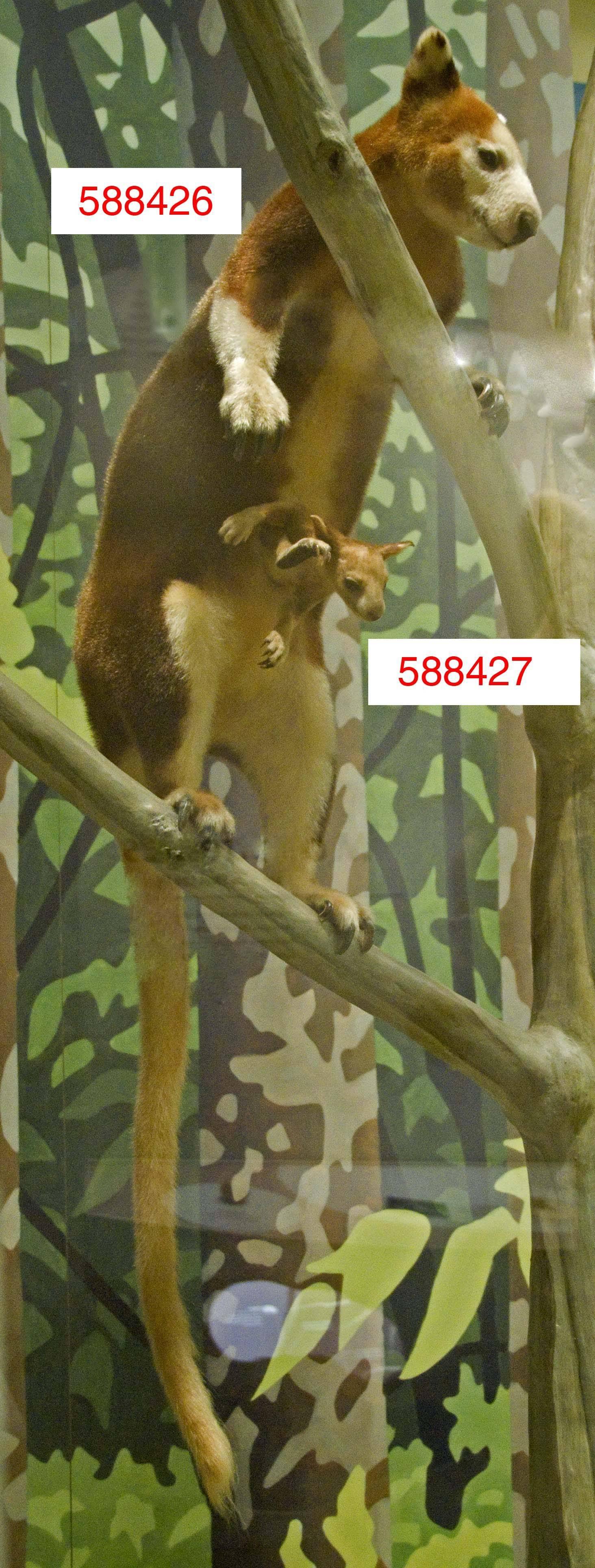 Image of Huon Tree Kangaroo