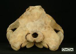 Image of Shepherd's Beaked Whale