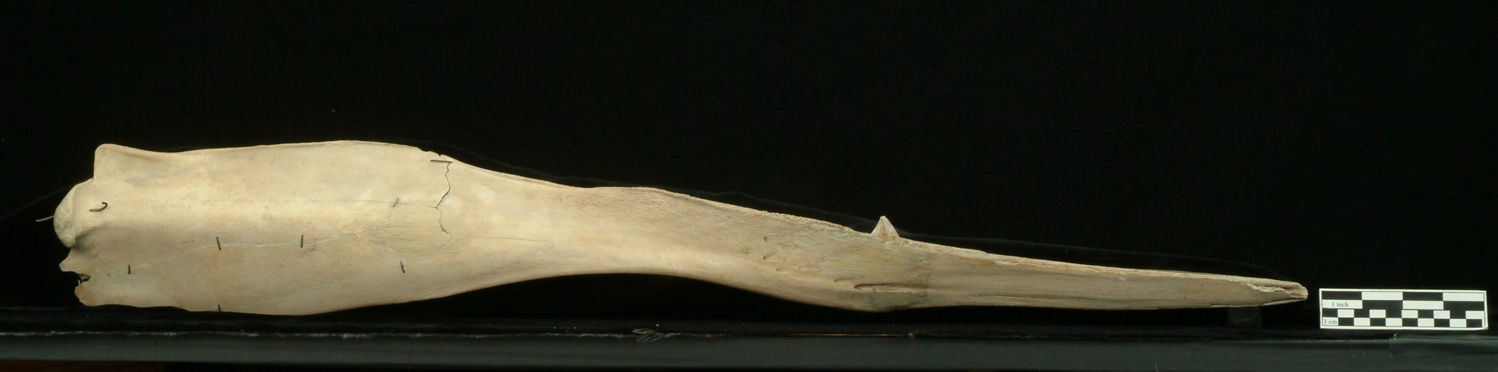 Image of Gray's Beaked Whale