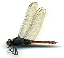 Image of Flame-tailed Pondhawk