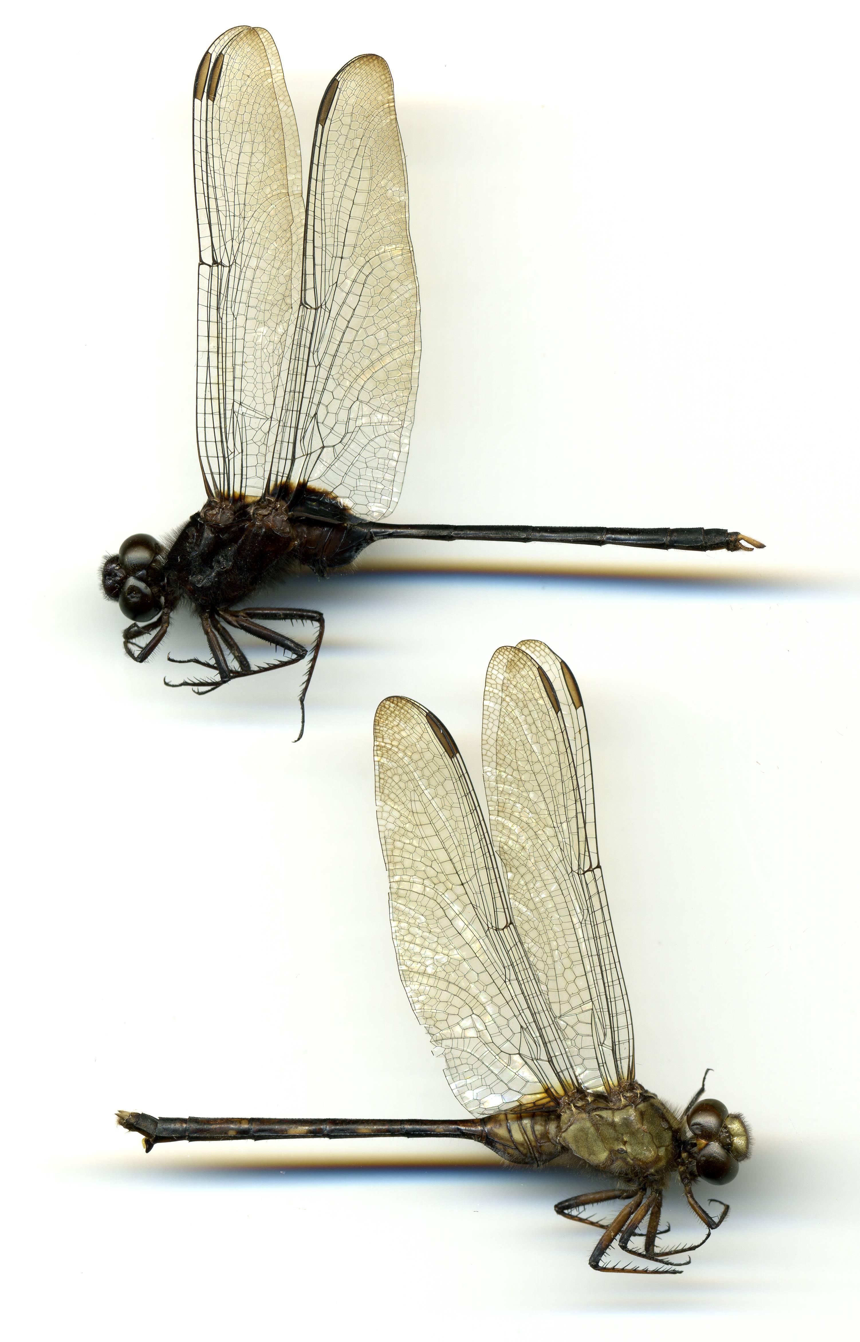 Image of Pin-tailed Pondhawk
