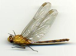 Image of Great Pondhawk