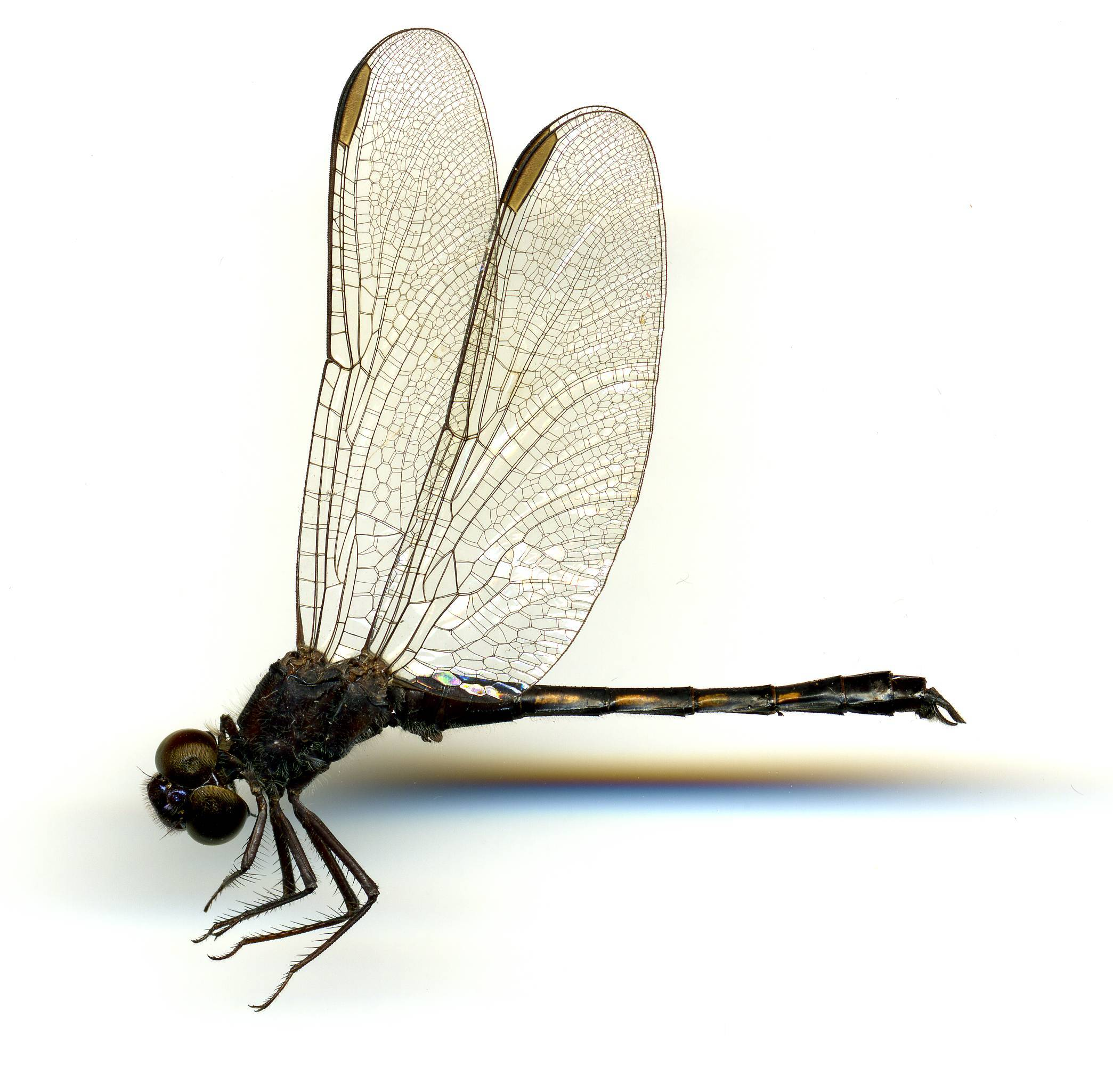 Image of Seaside Dragonlet