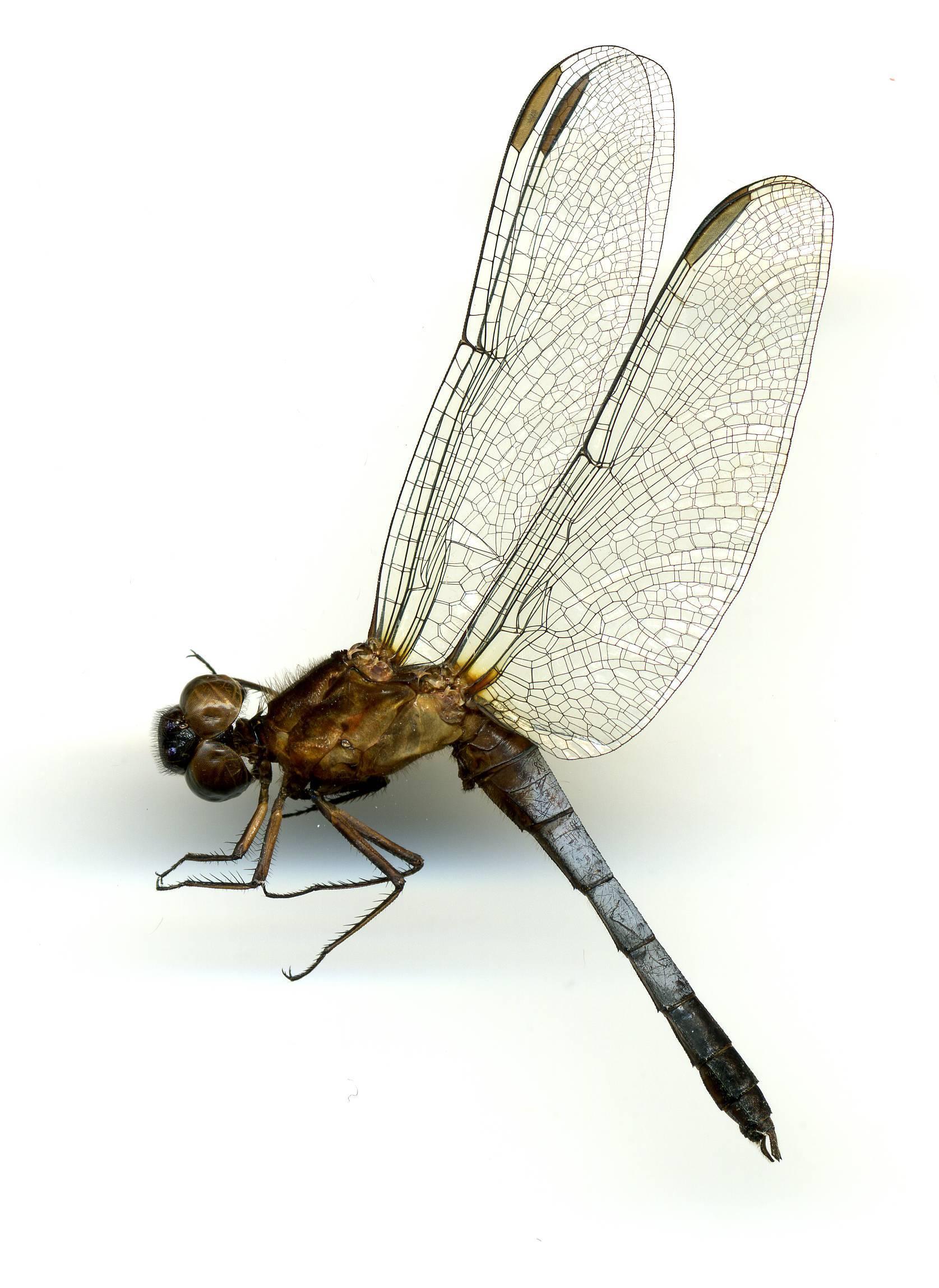 Image of <i>Erythrodiplax basifusca</i> (Calvert 1895)