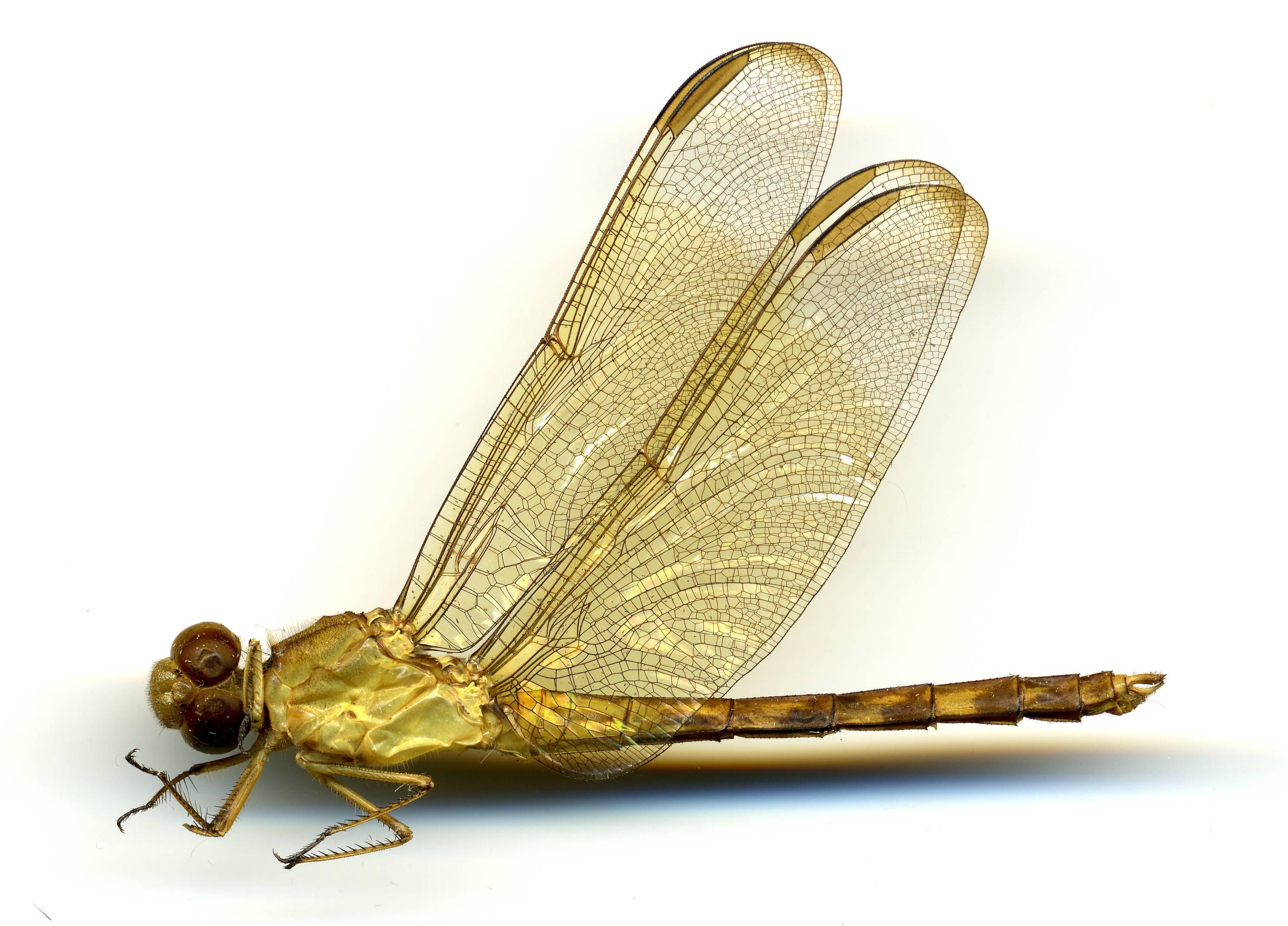 Image of <i>Erythrodiplax funerea</i> (Hagen 1861)