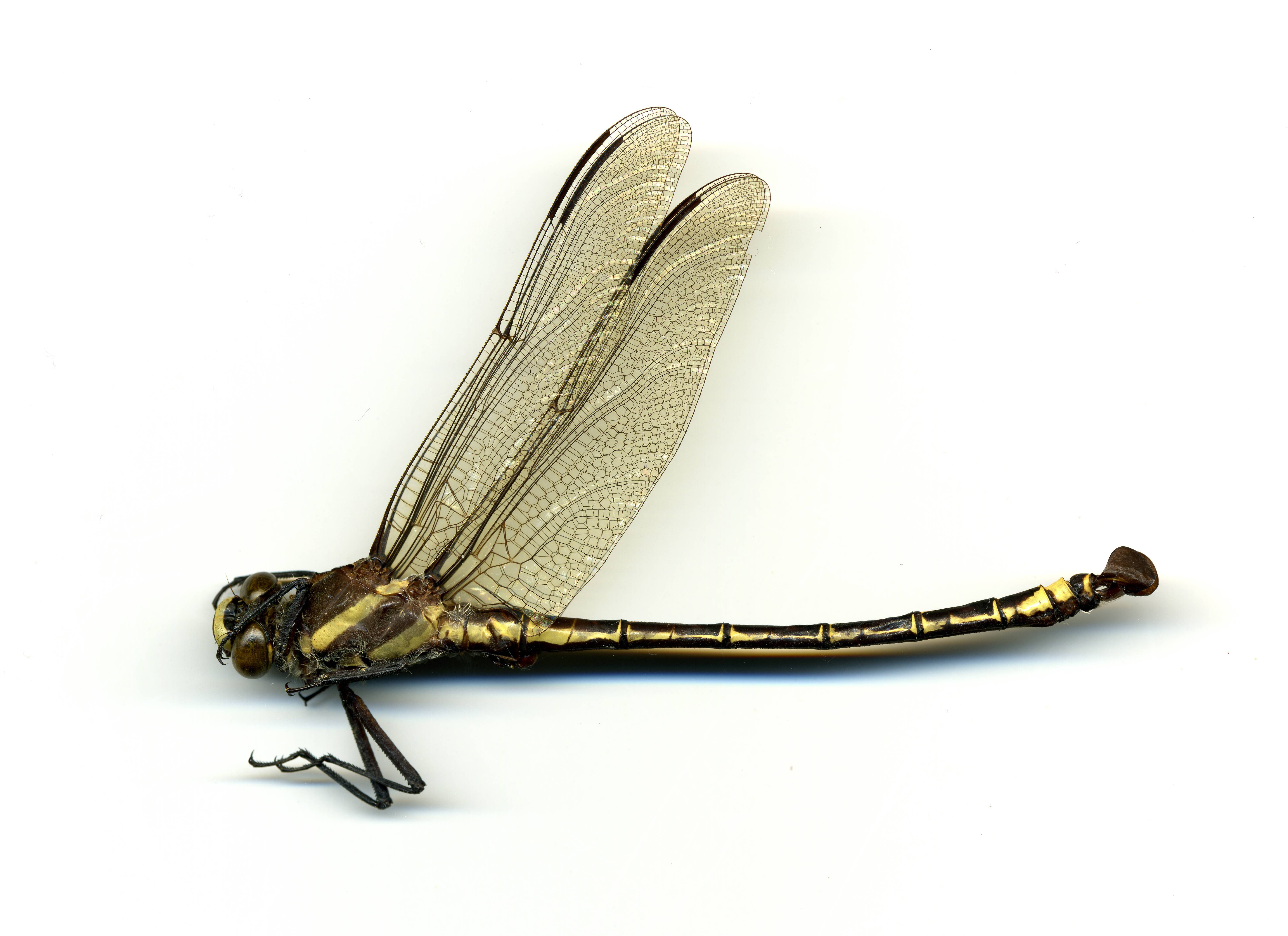 Image of <i>Petalura gigantea</i> Leach 1815