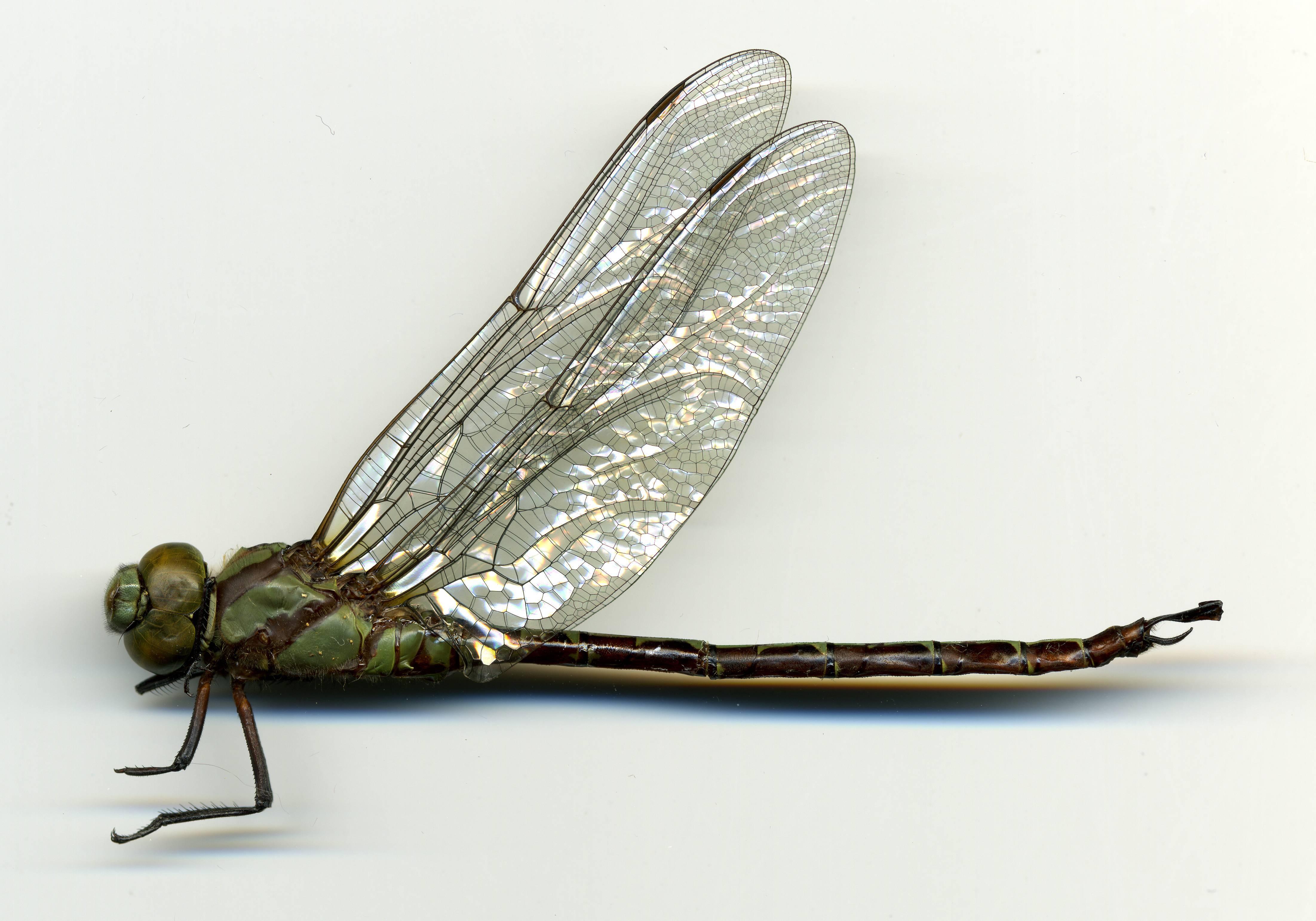 Image of <i>Remartinia luteipennis</i> (Burmeister 1839)