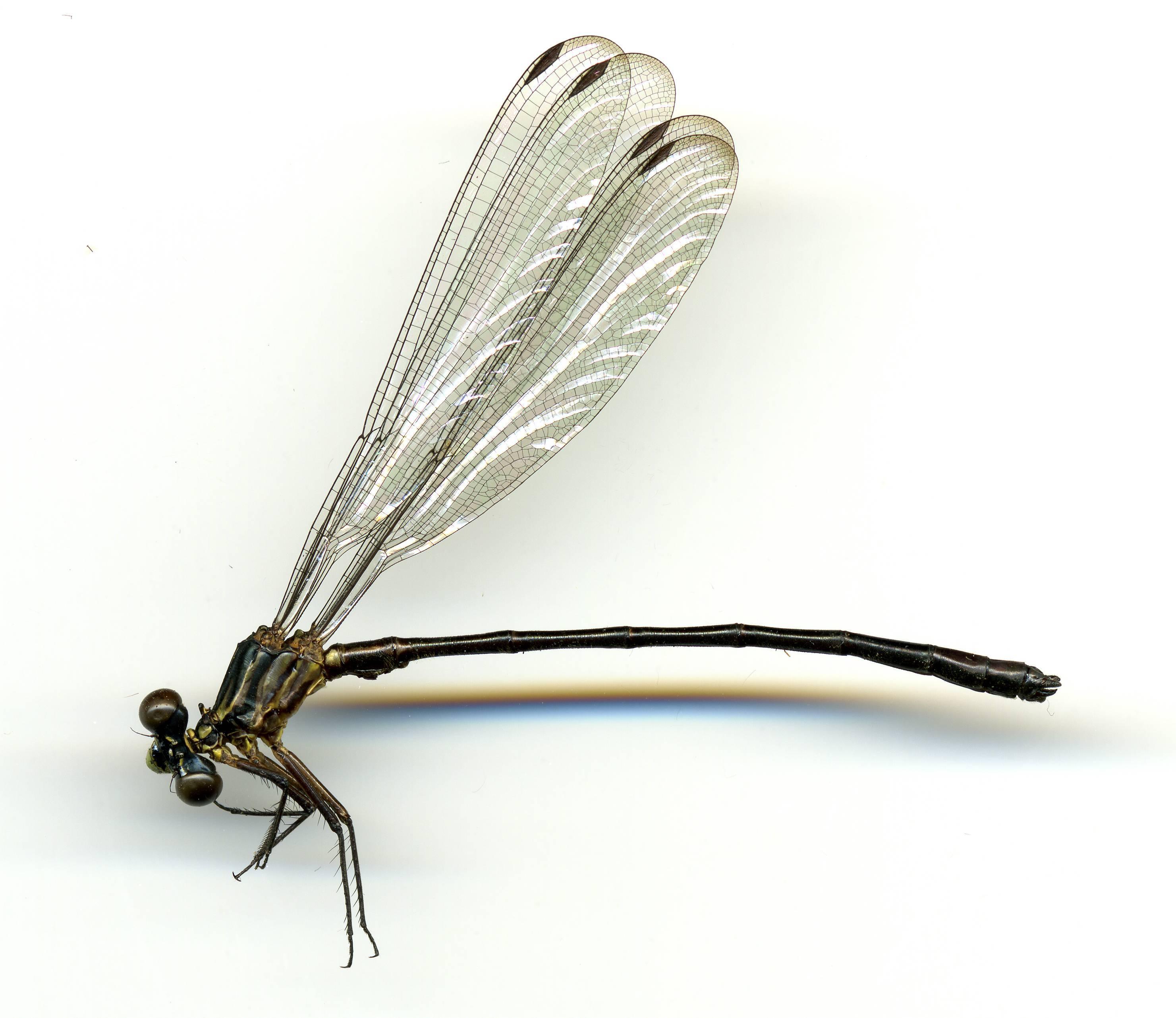 Image of <i>Amphipteryx nataliae</i> González-Soriano 2010