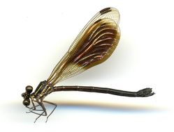 Image of <i>Chalcopteryx rutilans</i> (Rambur 1842)