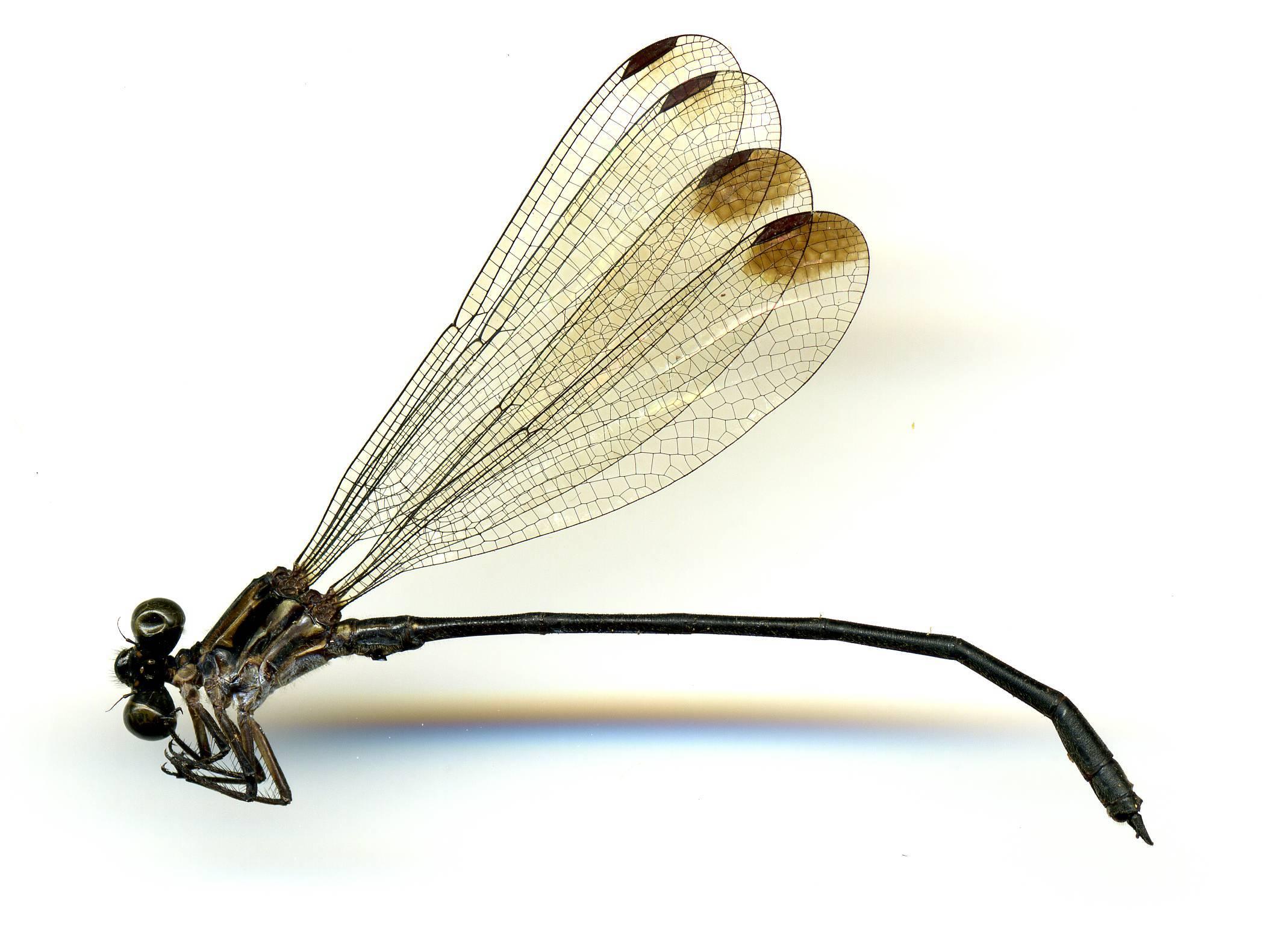 Image of <i>Miocora peraltica</i> Calvert 1917