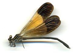 Image of <i>Polythore boliviana</i> (Mc Lachlan 1878)