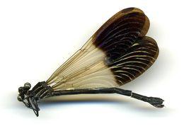 Image of <i>Polythore procera</i> (Selys 1869)