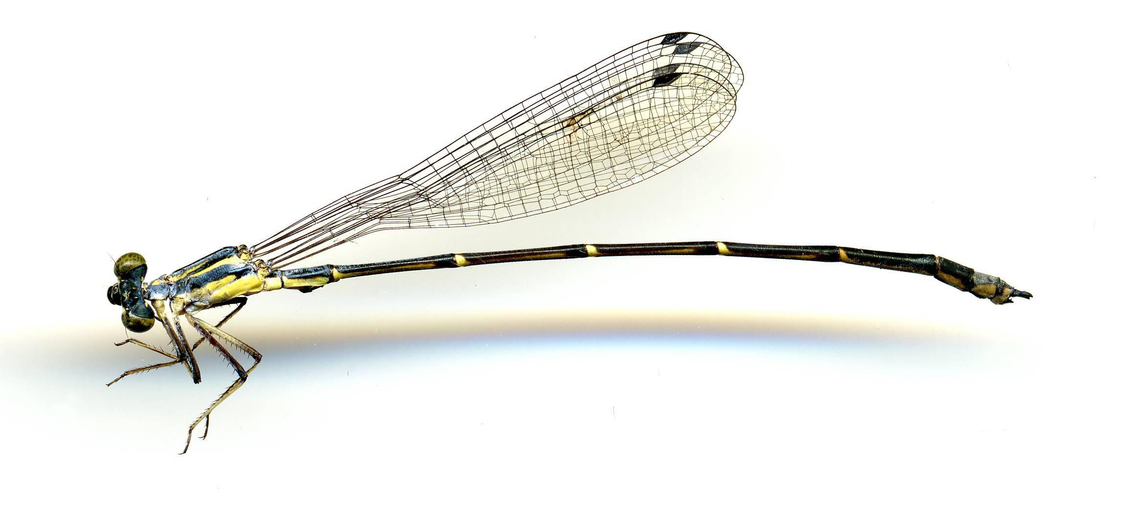 Image of <i>Neosticta canescens</i> Tillyard 1913