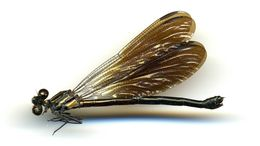 Image of <i>Bayadera melanopteryx</i> Ris 1912
