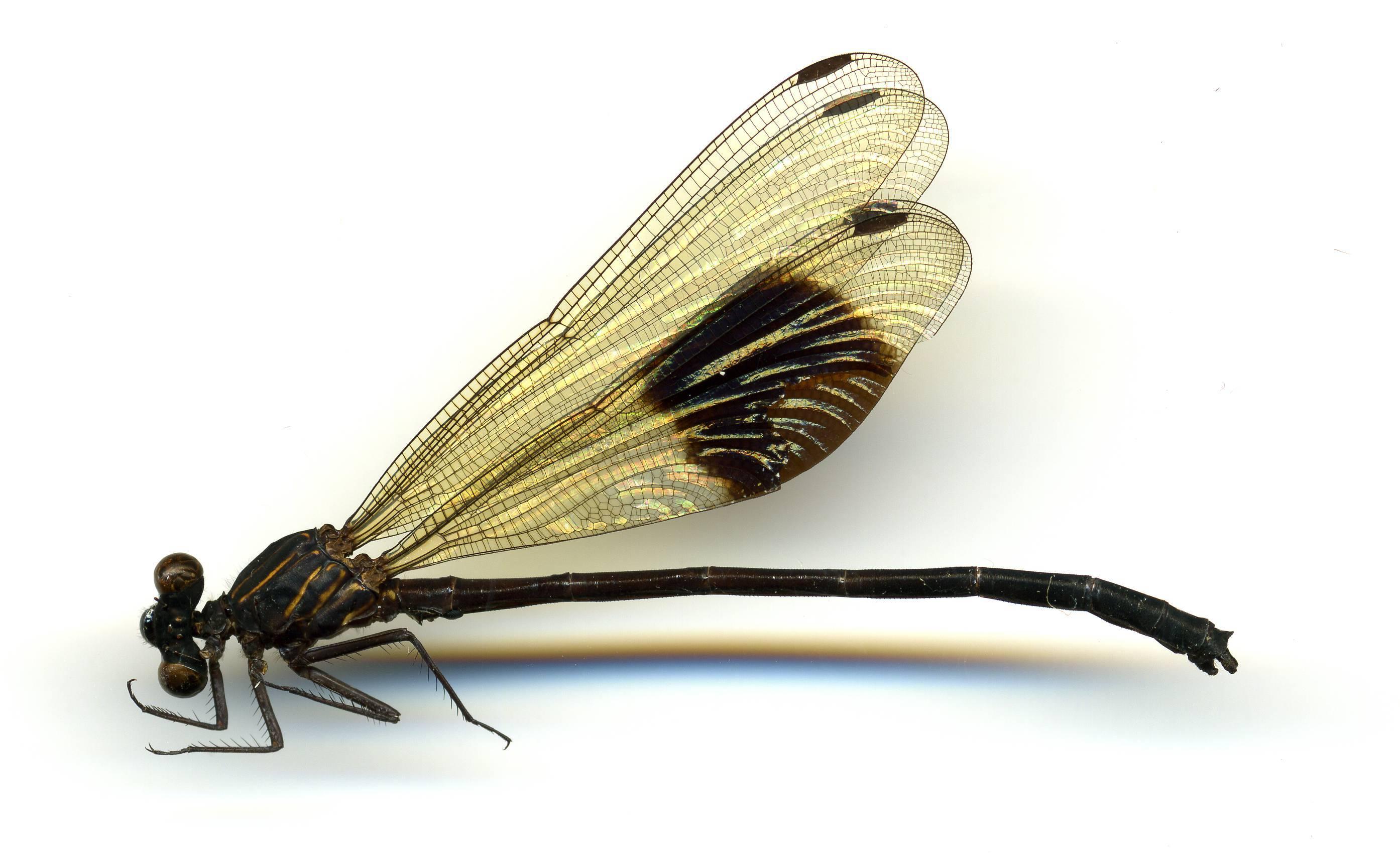 Image of <i>Euphaea decorata</i> Hagen ex Selys 1853