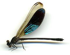 Image of <i>Euphaea amphicyana</i> Ris 1930