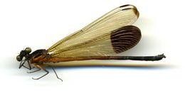 Image of <i>Euphaea dispar</i> Rambur 1842