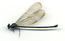 Image of <i>Iridictyon trebbaui</i> Rácenis 1968
