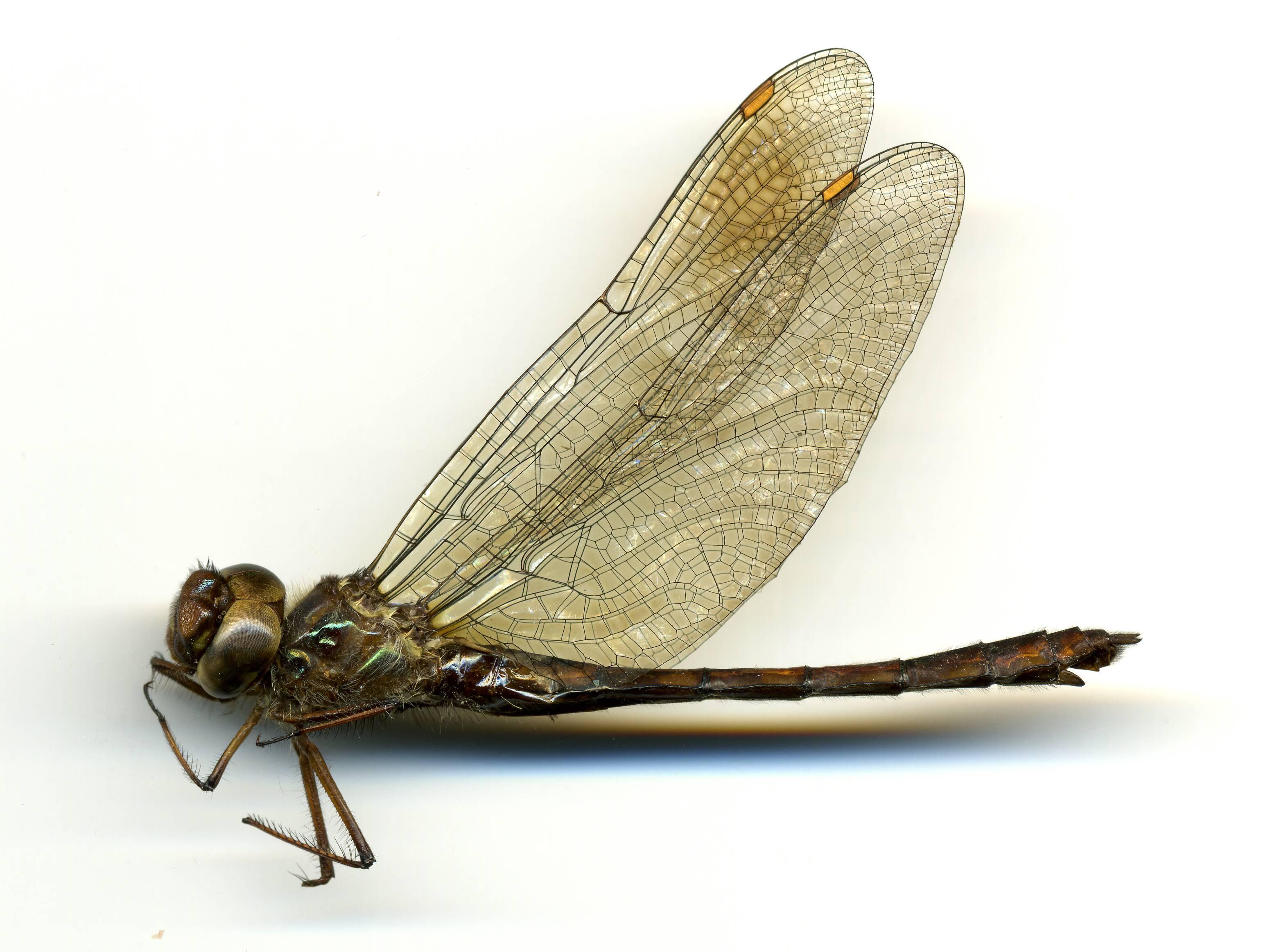 Image of Dusk Dragonfly