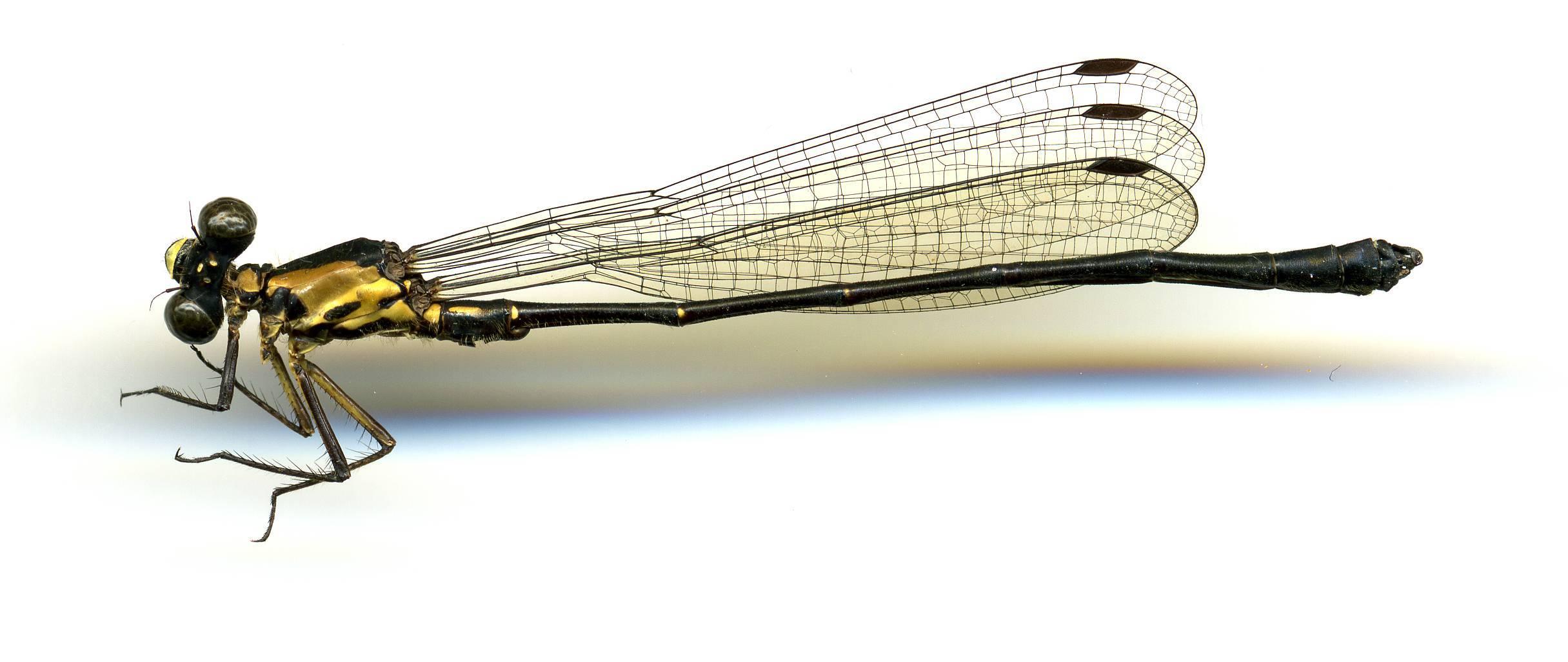 Image of <i>Lestoidea conjuncta</i> Tillyard 1913