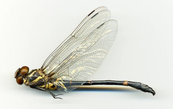 Image of <i>Chlorogomphus nasutus</i> Needham 1930