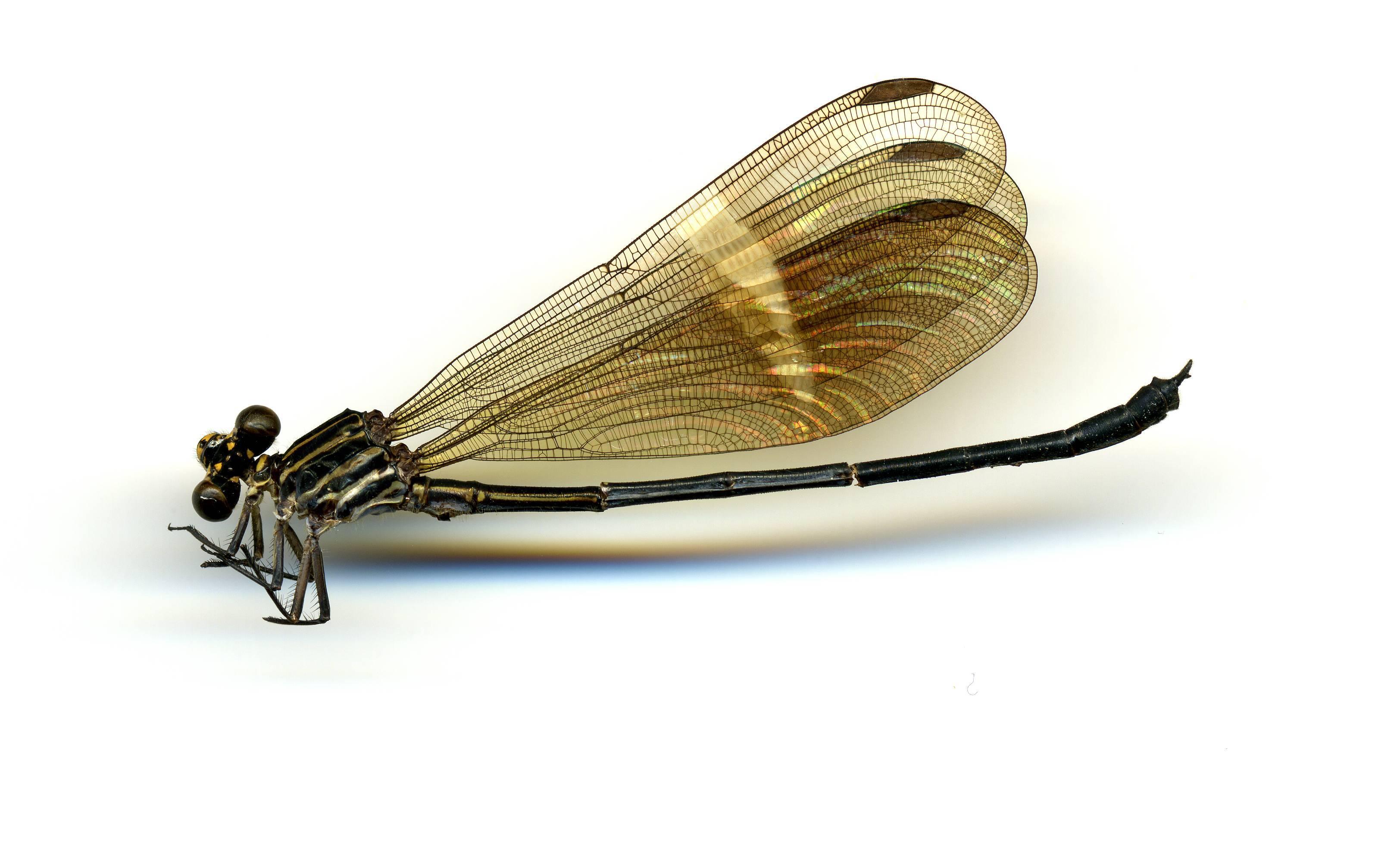 Image of <i>Polythore batesi</i> (Selys 1879)