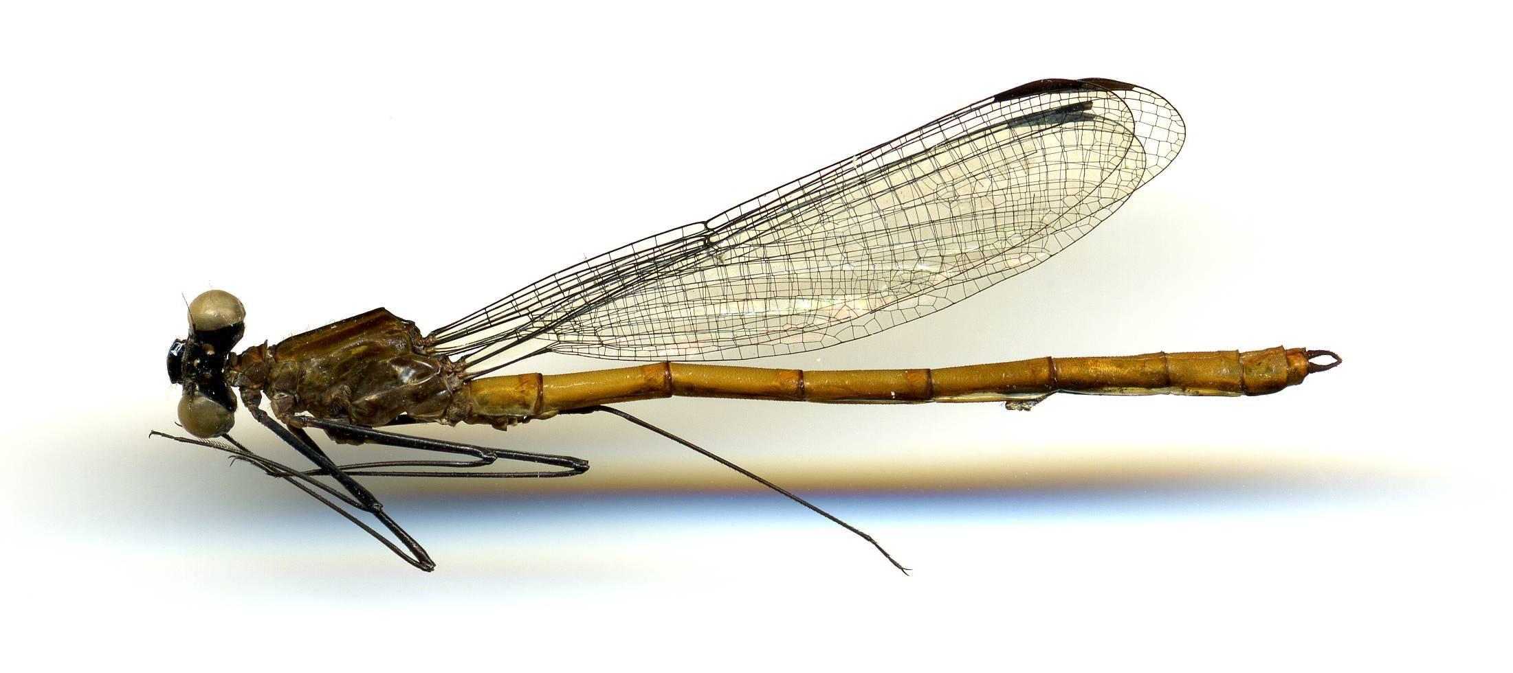 Image of <i>Dicterias atrosanguinea</i> Selys 1853