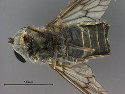 Image of <i>Dasybasis poroma</i> Coscaron & Philip