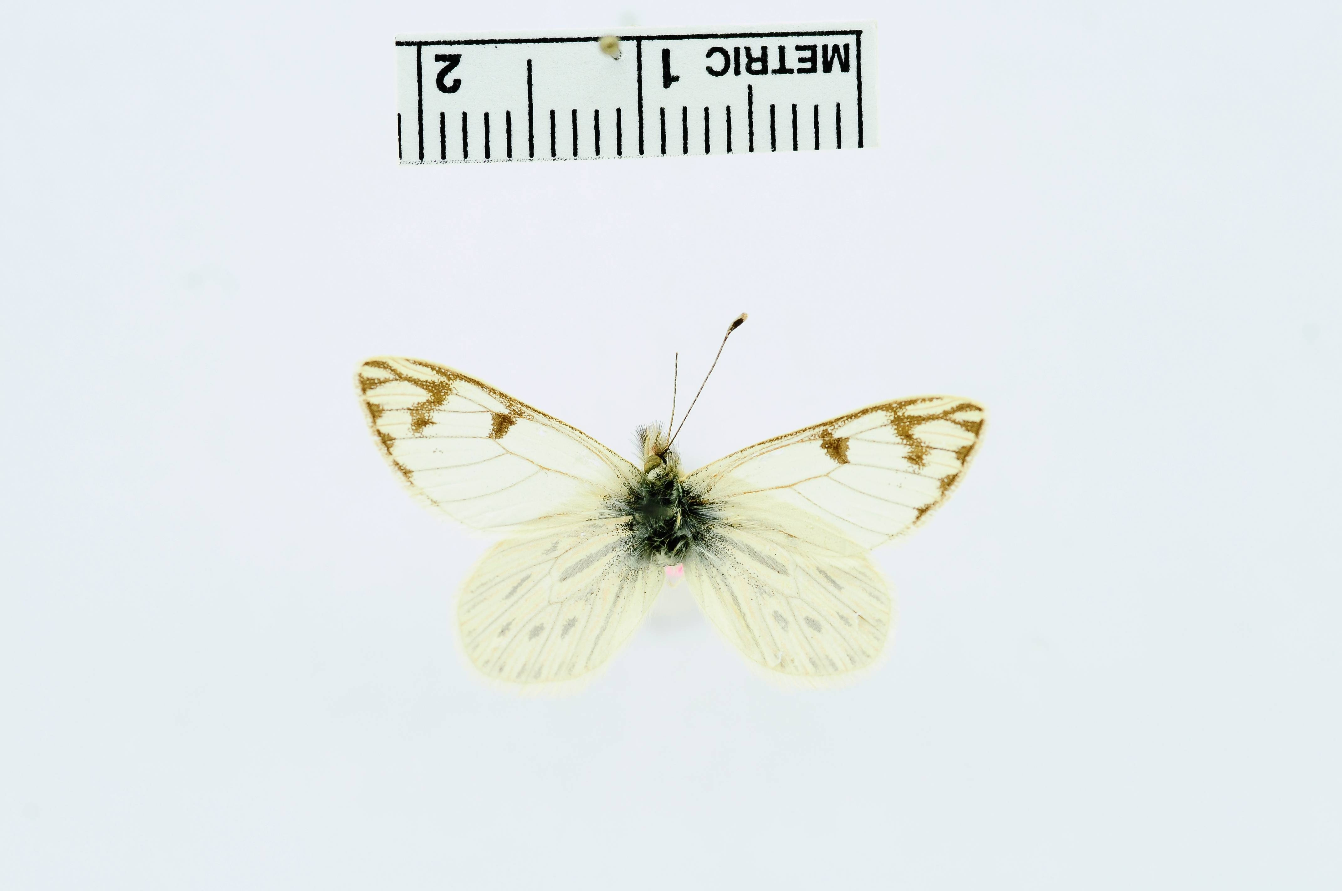 Image of <i>Phulia altivolans</i> Dyar 1913