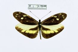 Image of <i>Enantia lua</i> ssp. <i>costaricensis</i> Schaus