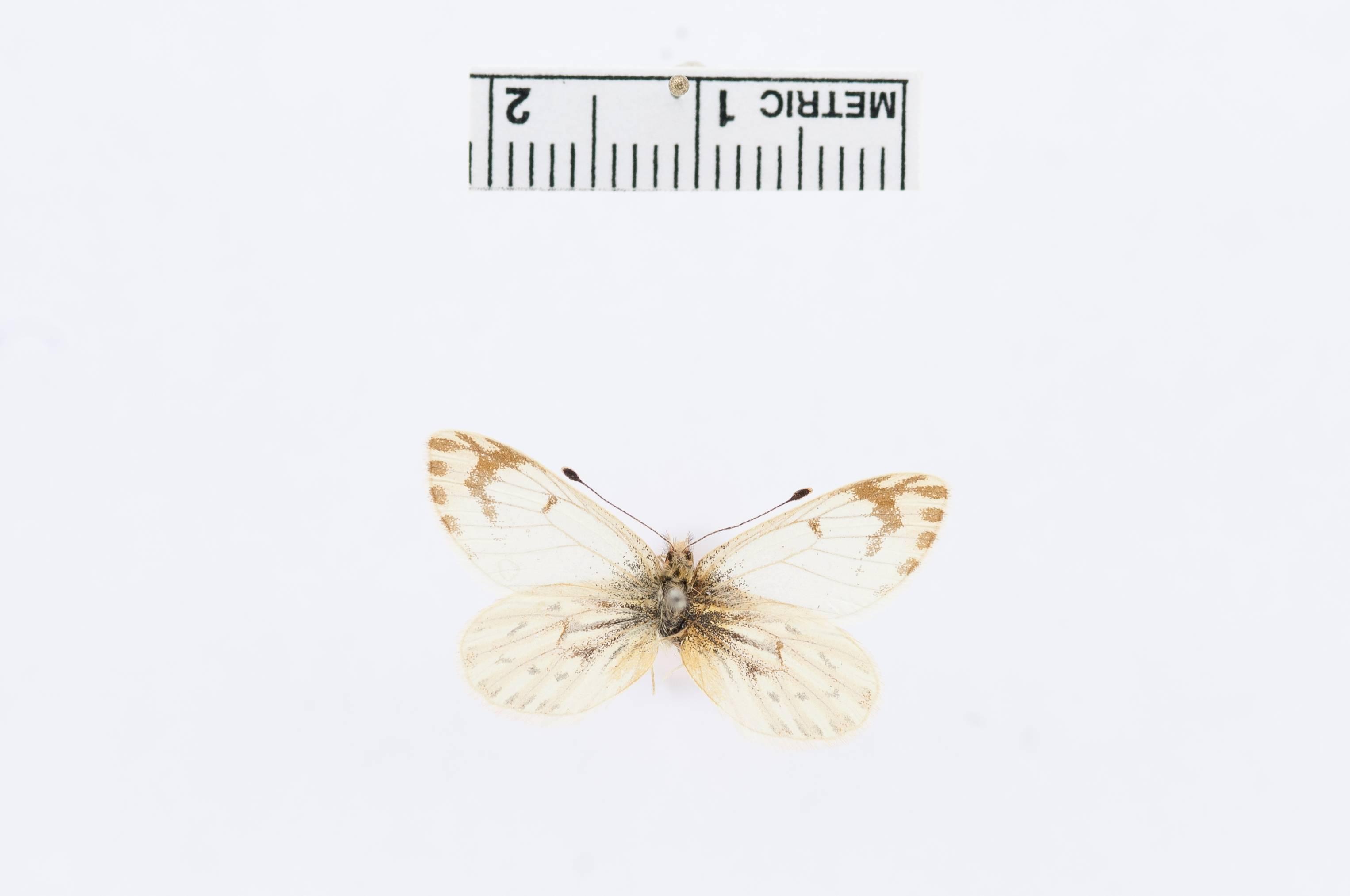 Image of <i>Phulia paranympha</i> ssp. <i>ernesta</i> Field & Herrera