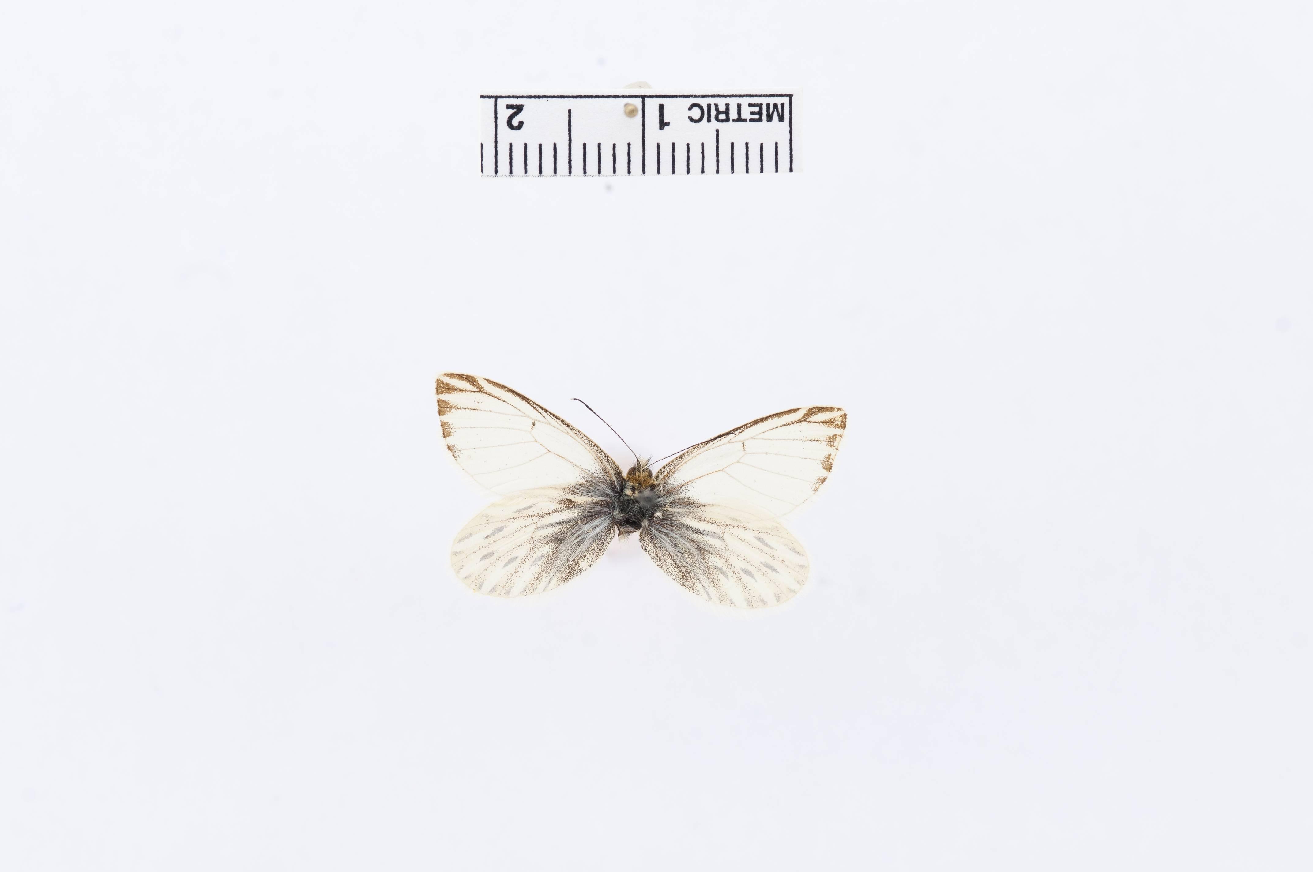 Image of <i>Phulia garleppi</i> Field & Herrera 1977