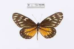 Image of <i>Archonias intermedia</i> Schaus