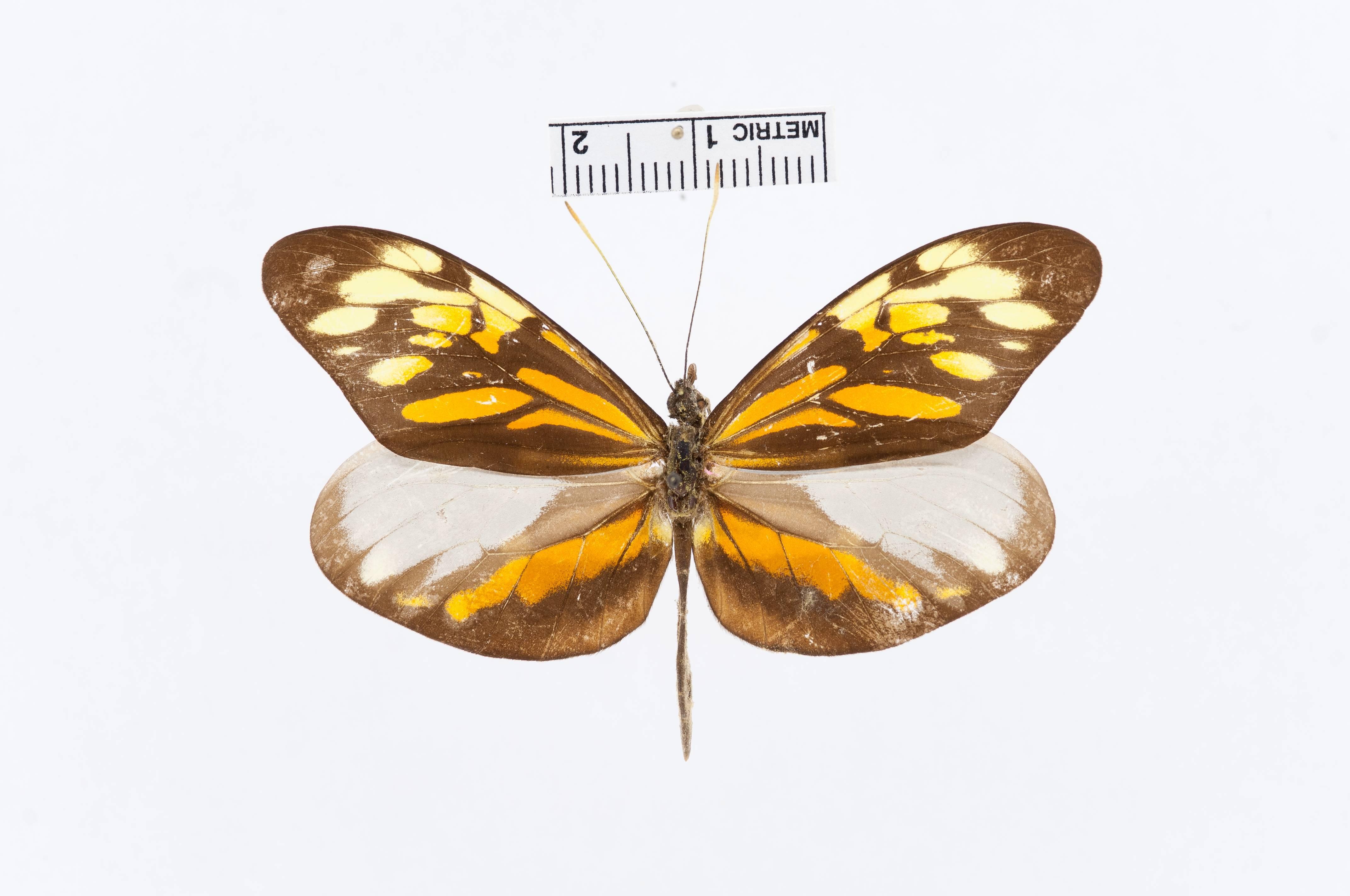 Image of <i>Dismorphia broomeae</i> fm. <i>robinsoni</i> Schaus