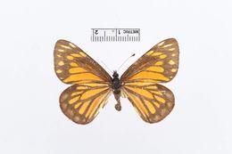 Image of <i>Archonias princetonia</i> Barnes